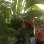 Plant Medicines:  Ayahuasca